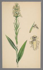 Platanthera cristata (Crested Yellow Orchid)