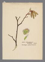 Ostrya virginiana (Hop-hornbeam)