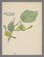 Corylus rostrata (Beaked Hazel-nut)