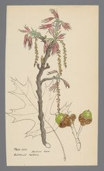 Quercus rubra (Red Oak) - Near Sylvan Lake Bridge