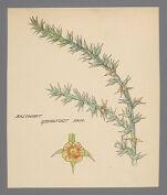 Batis (Saltwort)