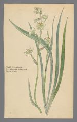 Zygadenus elegans [Zigadenus elegans] (Mountain Deathcamas, Tall zigadene)