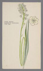 Zygadenus venenosus [Zigadenus venenosus] (Death Camass)