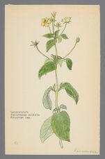Steironema ciliata (Fringed Loosestrife )