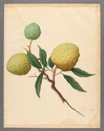 Anona [Annona], (Custard apple)