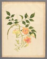Begonia L[illegible]
