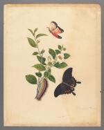 Camellia thea (Thea chinensis)