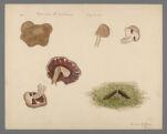 Agaricus brunescens, 1903 August 8