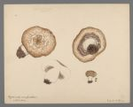Agaricus campestris, cultivated, 1904 March 1