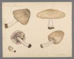 Agaricus flavescens, 1908 August 8