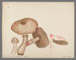 Agaricus haemorrhoidarius Schultz, 1913 September 12
