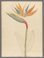 Strelitzia reginae, 1817 January