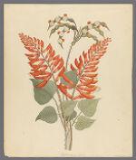 Erythrina, Nov. Specie, 1817 April
