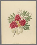 Schotia speciosa, 1817 June-September