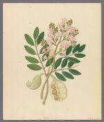 Schotia Nov. Sp., 1817 March