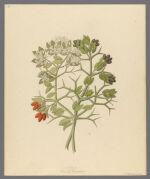 2 species of Carisfa arduina