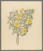 Bignoniae Nova Specie, 1817 February