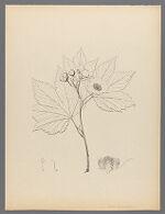 Rubus hydrastifolius