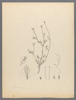 Azalea serpyllifolia Gray