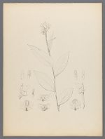 Epipactis thunbergii Gray