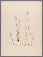 Carex lanceolata Boott, n.sp. Gray ; Carex monadelphia Boott, Boott, n.sp. Gray