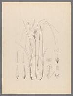 Carex villosa Boott, n.sp. Gray