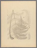 Aspidium erythrosorum Eaton ex Gray