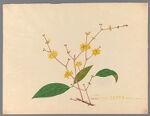 Chimnanthus praecox [Chimonanthus praecox]