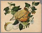 Citrus decumana