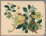 Citrus medica sarcodactulis [Citrus medica var. sarcodactylis]
