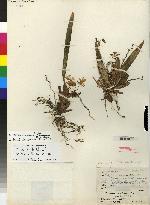 Cischweinfia pusilla image