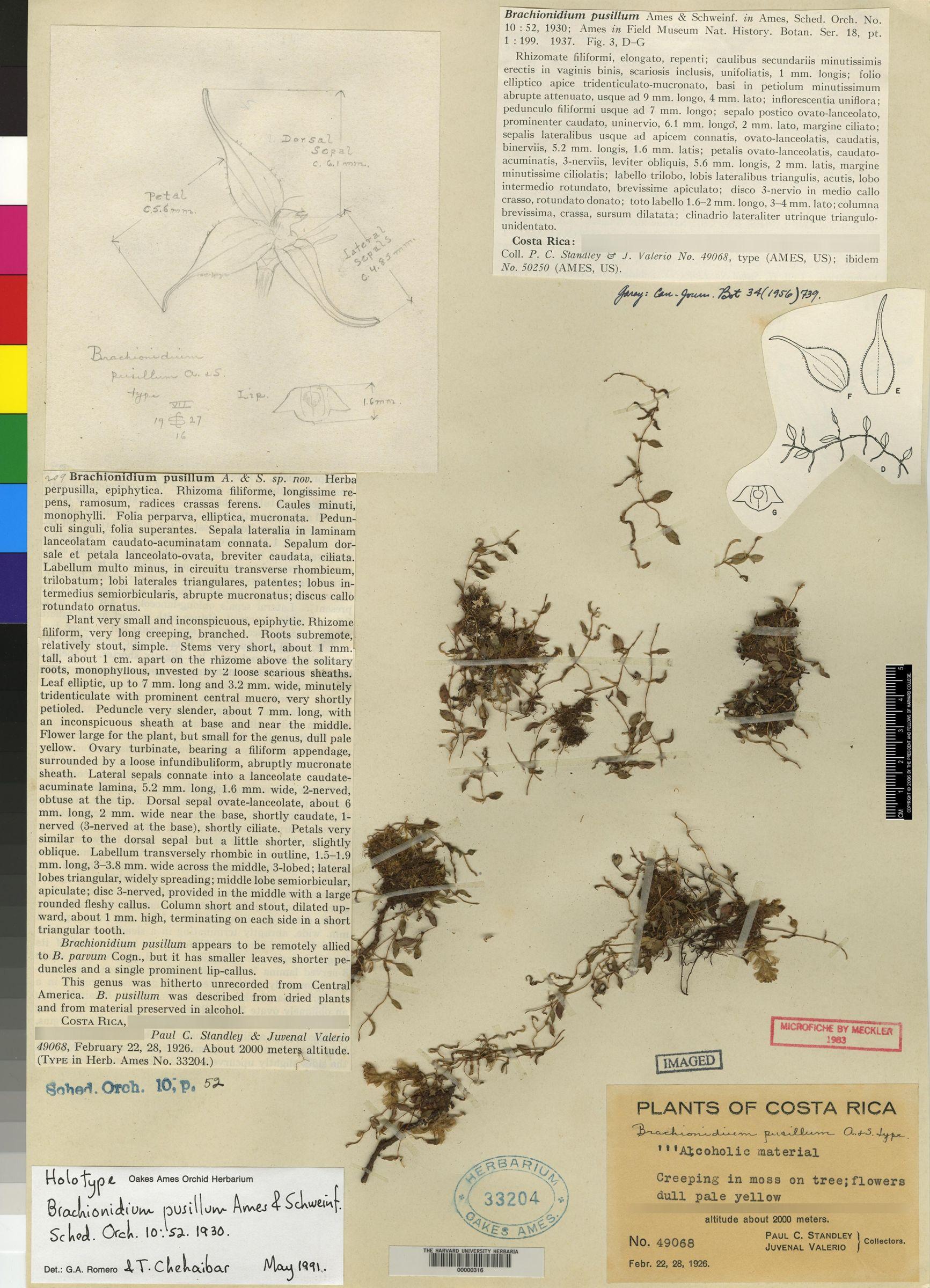Brachionidium pusillum image