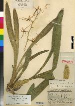 Brassia signata image