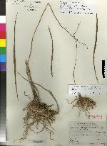 Image of Bletia lilacina