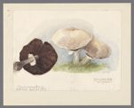 Agaricus arvensis, 1907 September 21