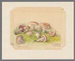 Agaricus campestris, undated