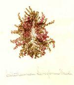 Callithamnion sierospermum versicolor [Callithamnion versicolor var. seirospermum], undated