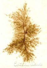 Ectocarpus littoralis, undated