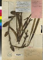 Maxillaria camaridii image