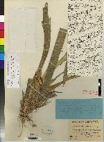 Maxillaria chartacifolia image