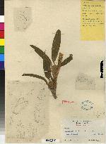 Maxillaria diuturna image