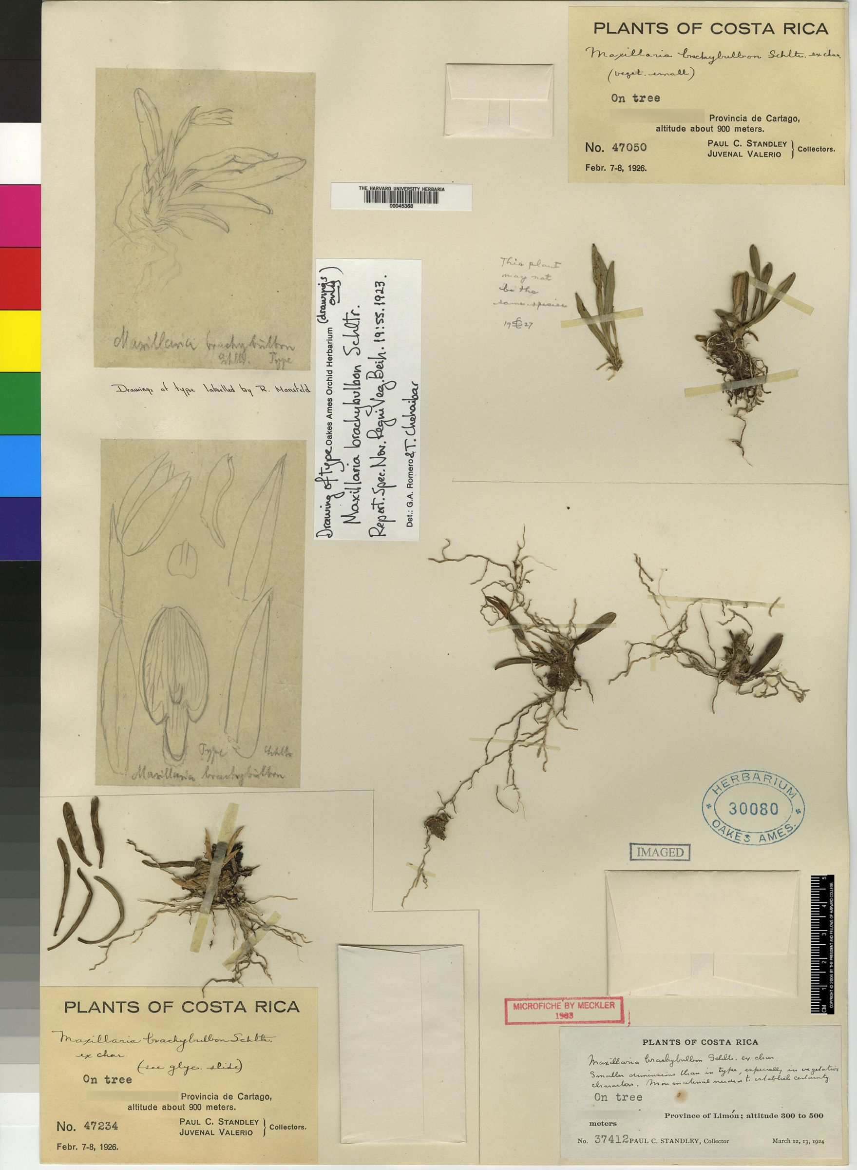 Maxillaria brachybulbon image