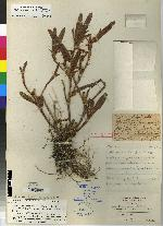 Maxillaria flava image