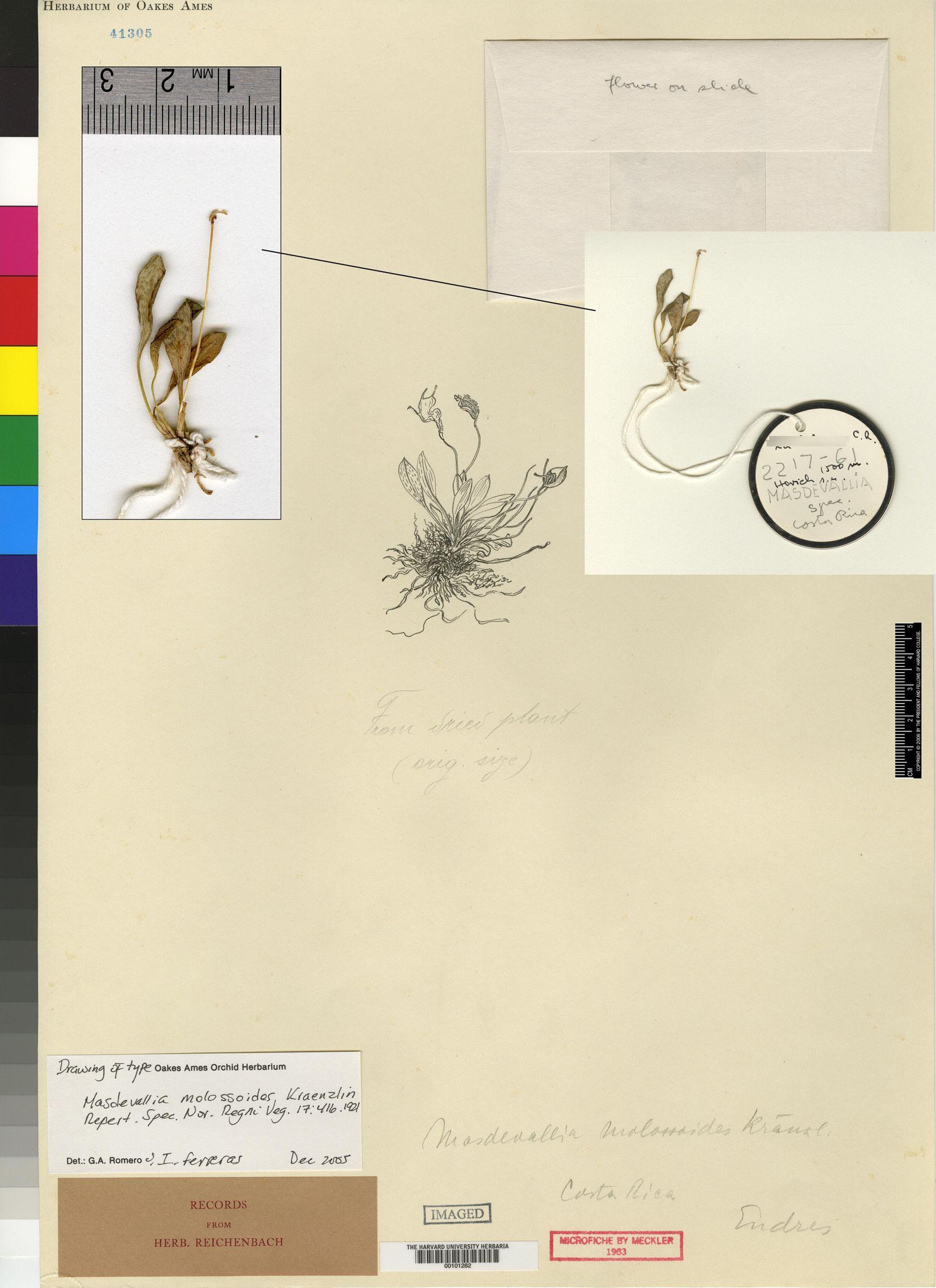 Masdevallia molossoides image