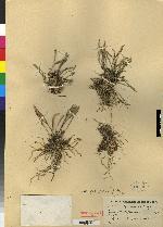 Dryadella simula image