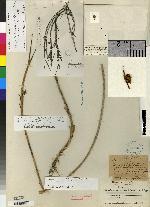 Maxillaria linearifolia image
