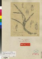 Maxillaria variabilis image