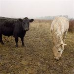 Cow and Horse Grazing at the Plenemuk Burial Mound Site, January 1, 1997