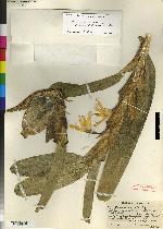 Maxillaria inaudita image