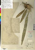 Maxillaria porrecta image